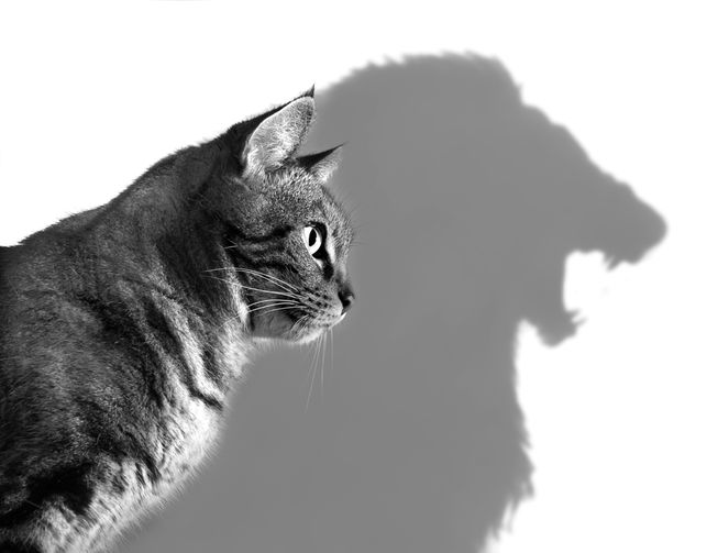 cat with lion shadow.jpg.653x0_q80_crop-smart