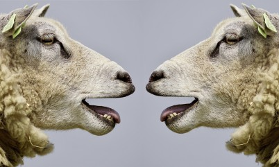 sheep arguing